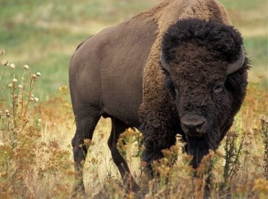 bison, two-horn beast