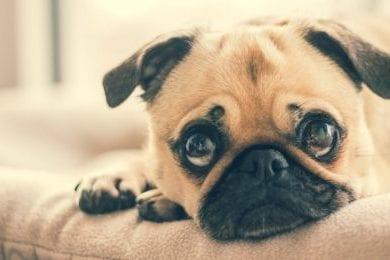Pet - Dog